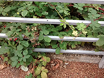 blackberry bushes poking through railings